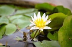 Waterlily élevage blanc et jaune Image libre de droits