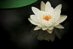 waterlily λευκό Στοκ Φωτογραφίες