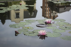 Waterlily με τα πράσινα φύλλα Στοκ φωτογραφία με δικαίωμα ελεύθερης χρήσης