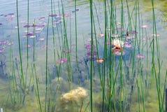 Waterlily в парке Ариэль Шарона, Израиле стоковое изображение rf