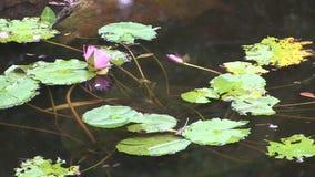 Waterlily засадило в underwater бака видеоматериал