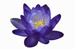 Waterlily или цветок лотоса изолированный на белой предпосылке Стоковая Фотография RF