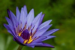 Waterlily на зеленой предпосылке Стоковые Фотографии RF