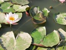Waterlily с лягушкой Стоковая Фотография RF