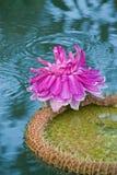 waterlily维多利亚 免版税库存图片