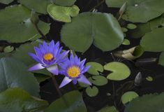 waterlily Στοκ Φωτογραφία