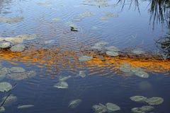 waterlily Stockbild