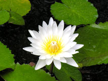 waterlily Стоковое Изображение RF