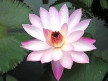 waterlily Стоковые Изображения RF