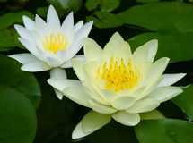 Waterlily fotografia stock