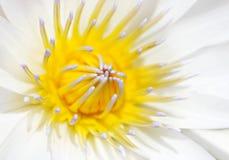 Waterlily Royalty Free Stock Photos