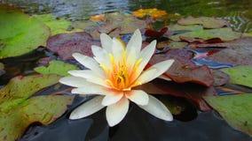 waterlily στοκ φωτογραφίες με δικαίωμα ελεύθερης χρήσης