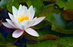 Waterlily Stock Photos
