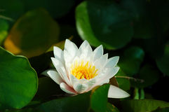 Waterlily. A beautiful pure white waterlily floats on the cool water surrounded by deep green lily pads in the early morning light royalty free stock images