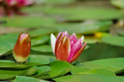 Waterlily stockbilder