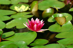Waterlily lizenzfreies stockbild