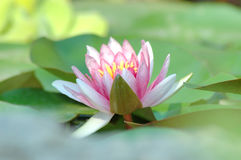 Waterlily. A beautiful soft pink waterlily floats on the pond amidst the lily pads in the early morning light royalty free stock photography