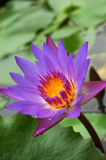 Waterlily 2 images stock