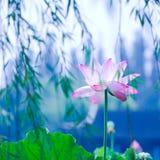 waterlily Стоковые Изображения