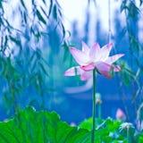 Waterlily imagen de archivo