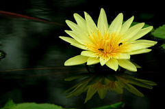 Waterlily. Foto de Stock