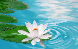 Waterlily Imagem de Stock Royalty Free