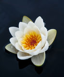 Waterlily Royalty Free Stock Photography