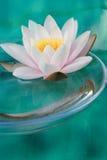 waterlily 免版税库存照片