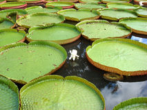 Waterlily Royalty Free Stock Photos
