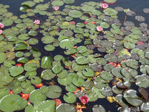 Waterlily Royaltyfria Foton