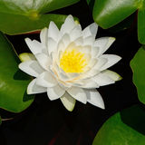 Waterlily Obraz Royalty Free