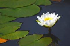 Waterlily Photo libre de droits