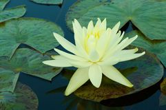 Waterlily Lizenzfreie Stockfotos
