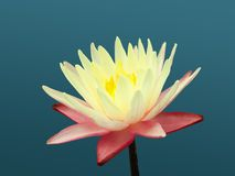 Waterlily Photographie stock libre de droits
