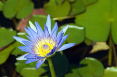 Waterlily Fotos de Stock Royalty Free
