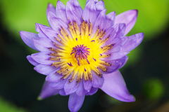 Waterlily Arkivfoto