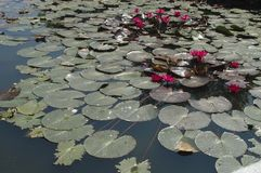 Waterlily Imágenes de archivo libres de regalías