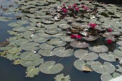 Waterlily Lizenzfreie Stockbilder