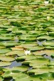 waterlily Royalty-vrije Stock Fotografie