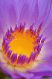 Waterlily 5 Stock Image