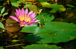 waterlily Foto de Stock Royalty Free