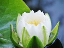waterlily Stock Afbeelding