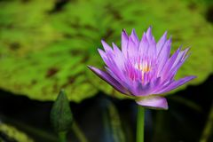 waterlily Immagini Stock
