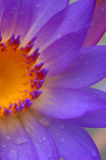 Waterlily 6 Stockfoto