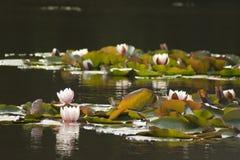 waterlily Стоковая Фотография RF