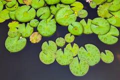 waterlily immagine stock