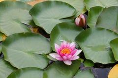 waterlily Fotos de archivo