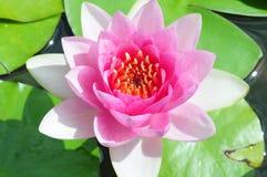 waterlily Royalty-vrije Stock Afbeelding