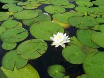 waterlily Images libres de droits