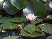 waterlily 免版税库存图片